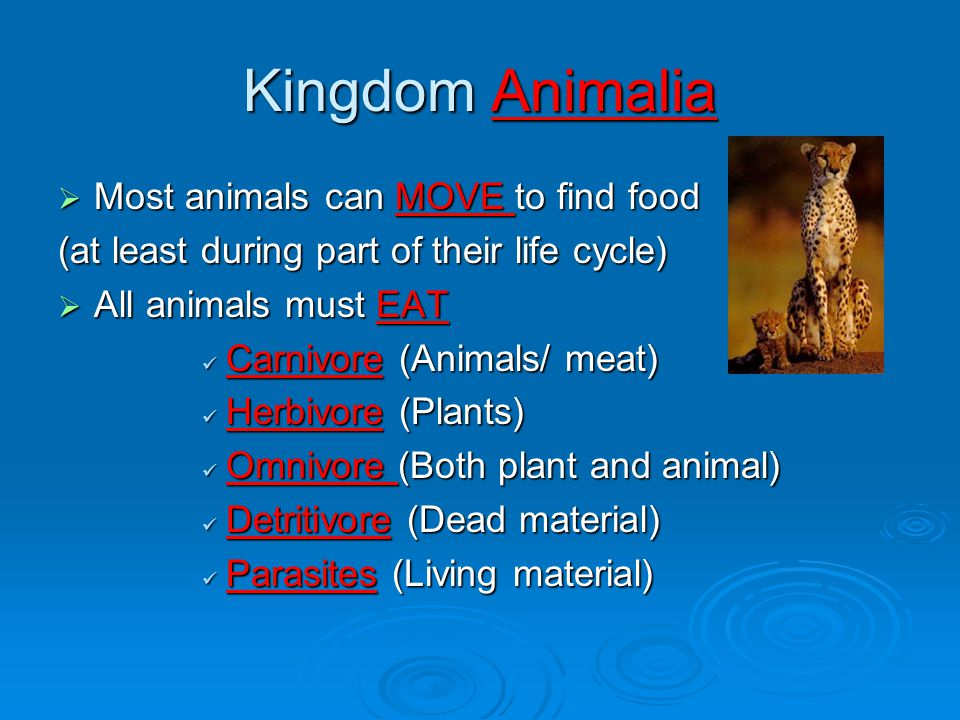 Kingdom Animalia  Most animals can MOVE to find food (at least during part of their life cycle)  All animals must EAT Carnivore (Animals/ meat) Carnivore (Animals/ meat) Herbivore (Plants) Herbivore (Plants) Omnivore (Both plant and animal) Omnivore (Both plant and animal) Detritivore (Dead material) Detritivore (Dead material) Parasites (Living material) Parasites (Living material)