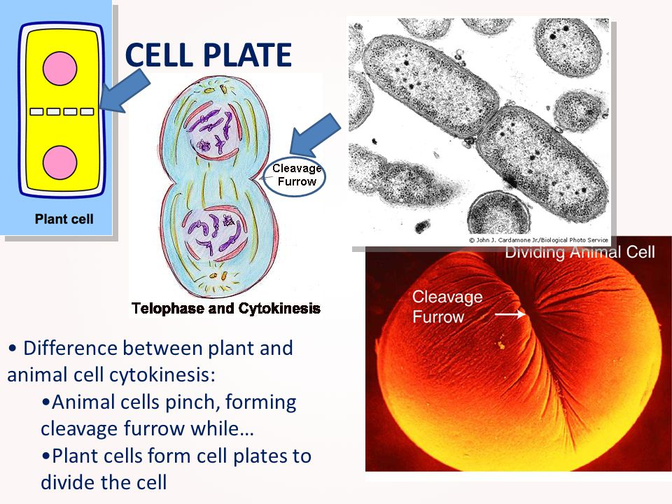 Difference between plant and animal cell cytokinesis: Animal cells pinch, forming cleavage furrow while… Plant cells form cell plates to divide the ce