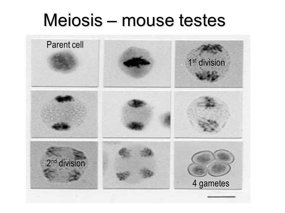 Meiosis – mouse testes Parent cell 4 gametes 1 st division 2 nd division