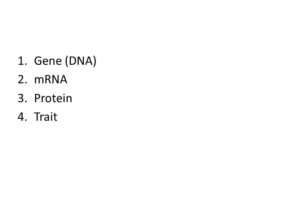 1.Gene (DNA) 2.mRNA 3.Protein 4.Trait