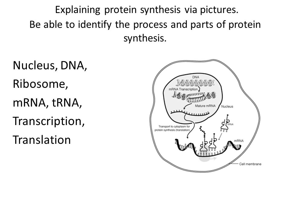 Explaining protein synthesis via pictures.