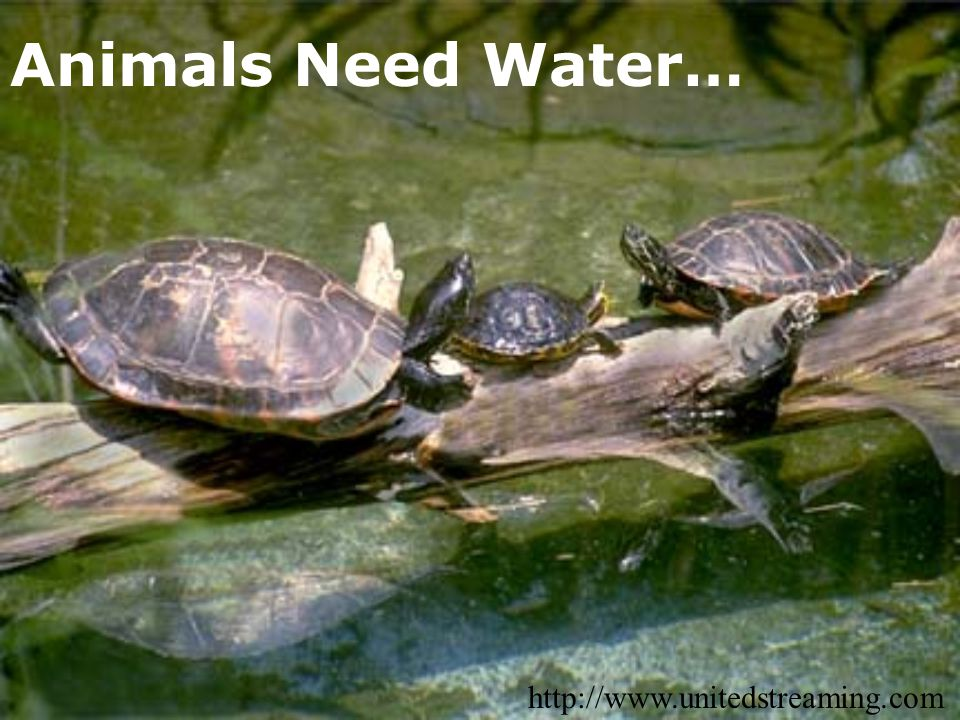 Animals Need Water… http://www.unitedstreaming.com