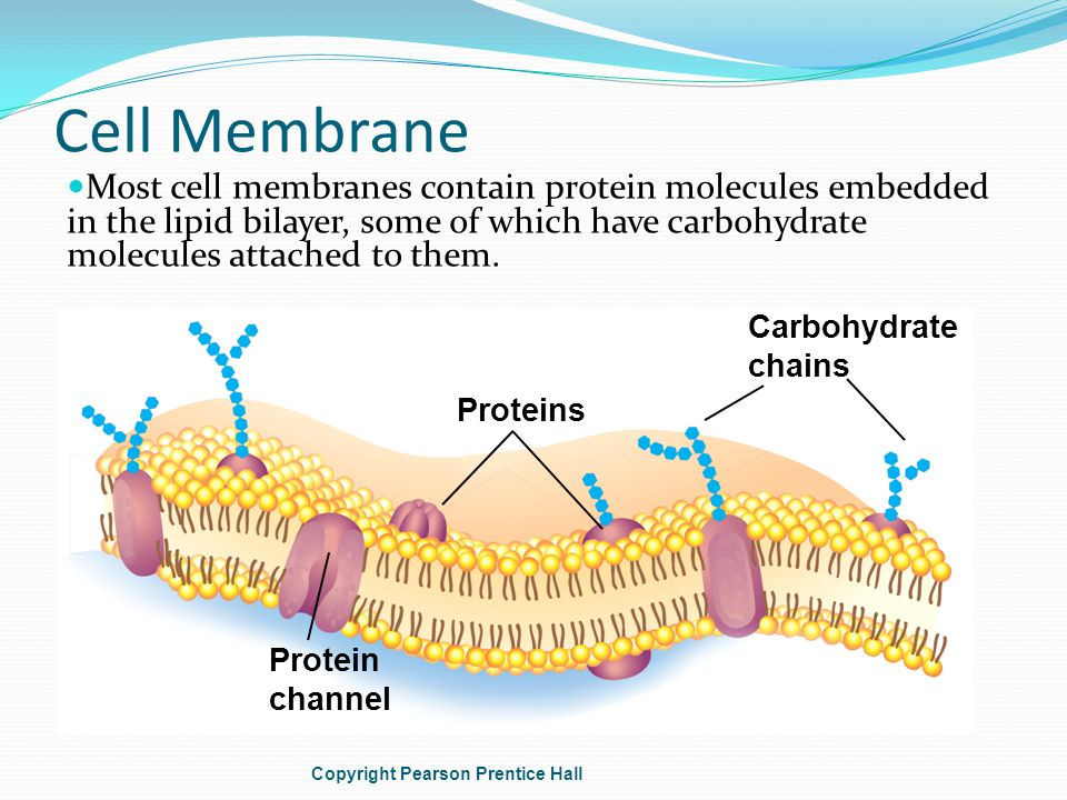 Cell Membrane Most cell membranes contain protein molecules embedded in the lipid bilayer, some of which have carbohydrate molecules attached to them.
