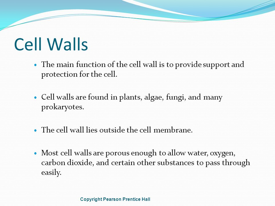 Cell Walls The main function of the cell wall is to provide support and protection for the cell.