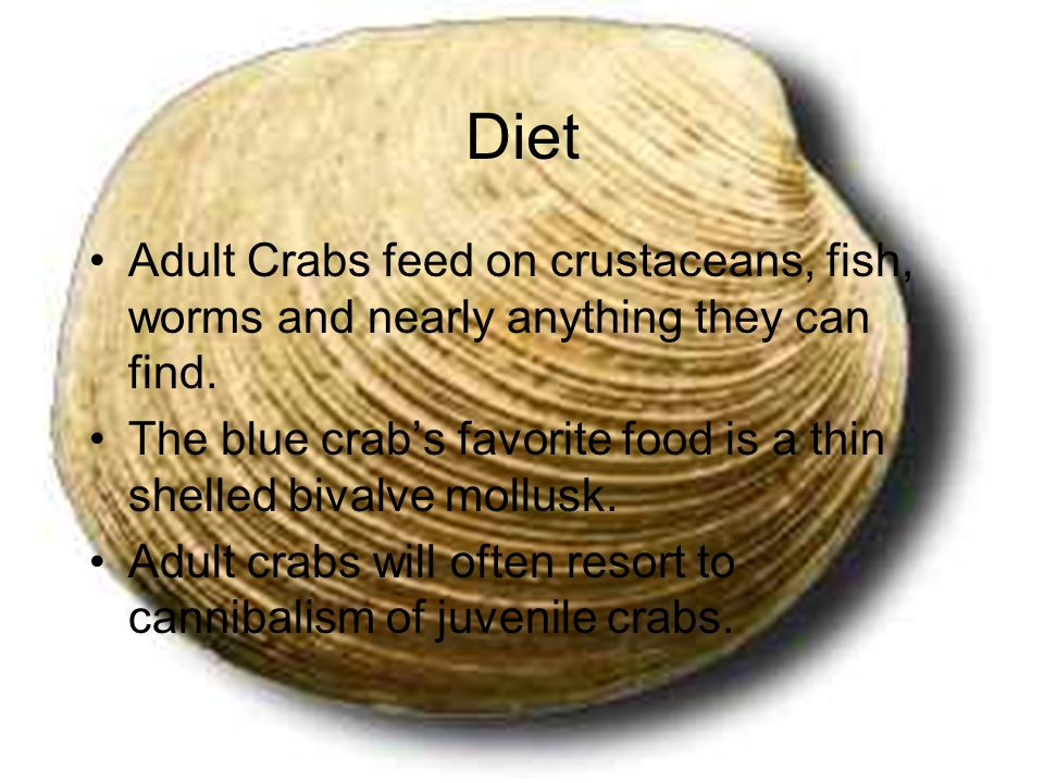 Diet Adult Crabs feed on crustaceans, fish, worms and nearly anything they can find.