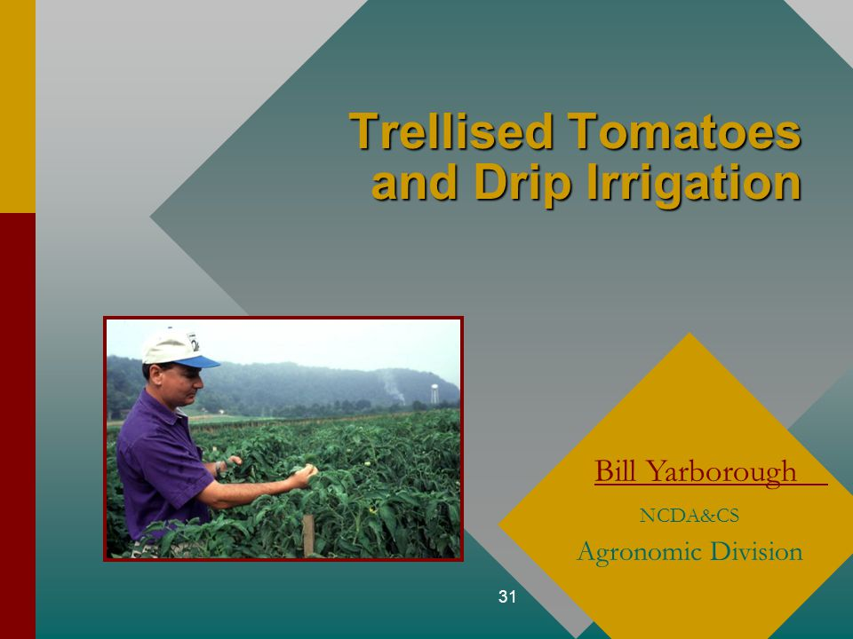 31 Trellised Tomatoes and Drip Irrigation Bill Yarborough NCDA&CS Agronomic Division
