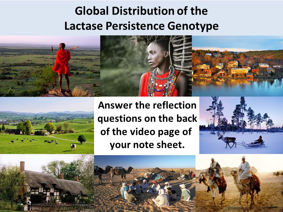 Global Distribution of the Lactase Persistence Genotype Answer the reflection questions on the back of the video page of your note sheet.