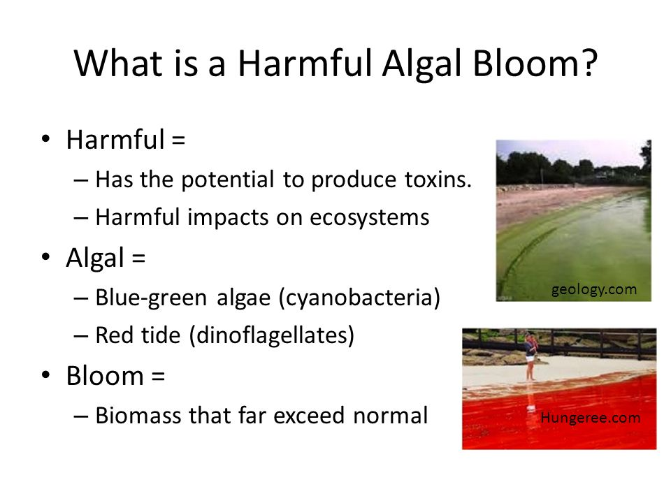 What is a Harmful Algal Bloom.Harmful = – Has the potential to produce toxins.