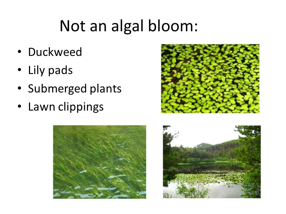 Not an algal bloom: Duckweed Lily pads Submerged plants Lawn clippings