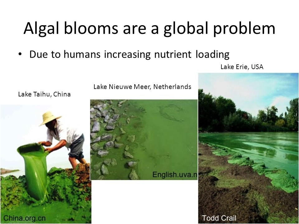 Algal blooms are a global problem Due to humans increasing nutrient loading Lake Taihu, China Lake Nieuwe Meer, Netherlands Lake Erie, USA