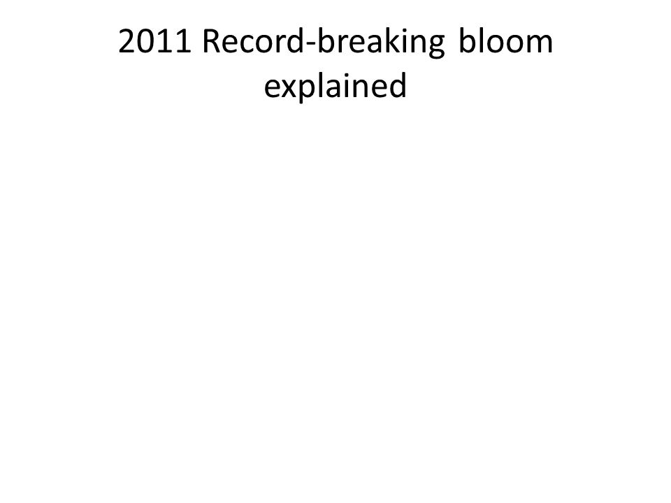 2011 Record-breaking bloom explained