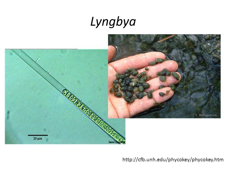 Lyngbya http://cfb.unh.edu/phycokey/phycokey.htm