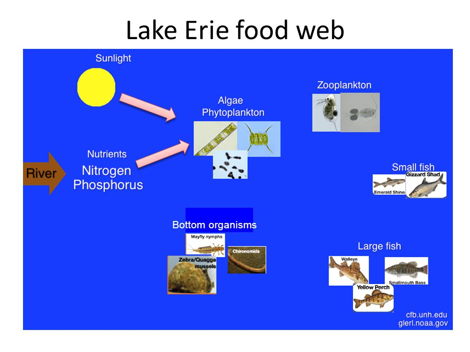 Lake Erie food web Bottom organisms