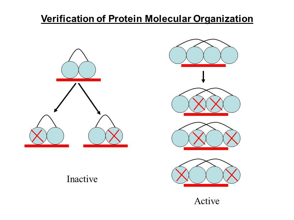 Verification of Protein Molecular Organization Inactive Active