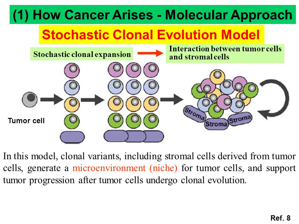 In this model, clonal variants, including stromal cells derived from tumor cells, generate a microenvironment (niche) for tumor cells, and support tum