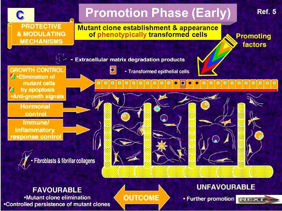 Promotion Phase (Early) Mutant clone establishment & appearance of phenotypically transformed cells Ref. 5