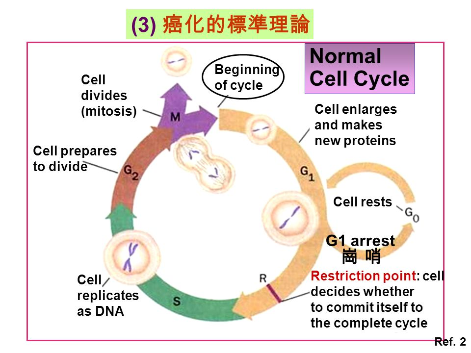 Normal Cell Cycle Cell enlarges and makes new proteins Beginning of cycle Cell divides (mitosis) Cell prepares to divide Cell replicates as DNA Cell r