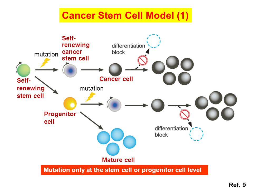 Cancer Stem Cell Model (1) mutation Self- renewing stem cell Progenitor cell Mature cell Cancer cell Self- renewing cancer stem cell Ref.