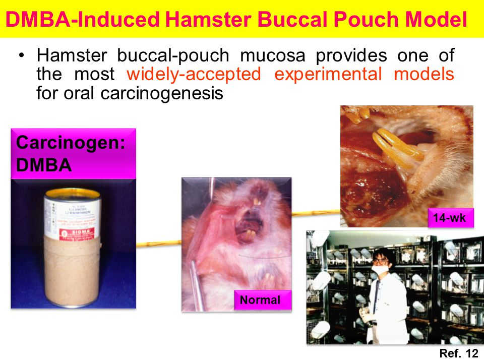 DMBA-Induced Hamster Buccal Pouch Model 14-wk Normal Carcinogen: DMBA Hamster buccal-pouch mucosa provides one of the most widely-accepted experimental models for oral carcinogenesis Ref.