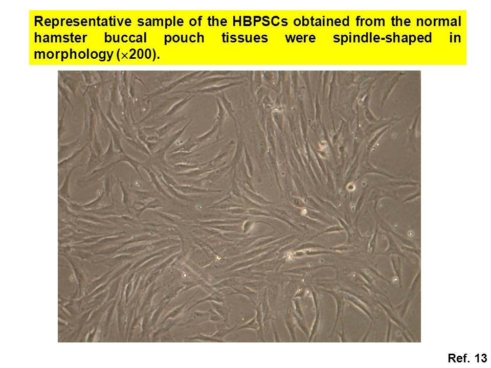 Representative sample of the HBPSCs obtained from the normal hamster buccal pouch tissues were spindle-shaped in morphology (  200). Ref. 13