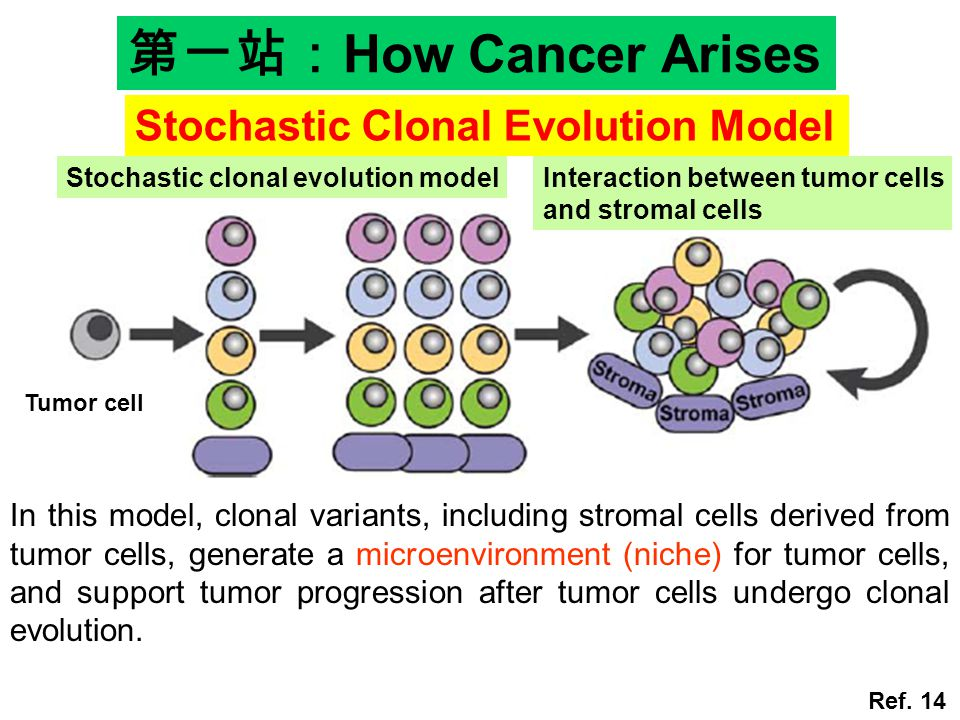 In this model, clonal variants, including stromal cells derived from tumor cells, generate a microenvironment (niche) for tumor cells, and support tumor progression after tumor cells undergo clonal evolution.