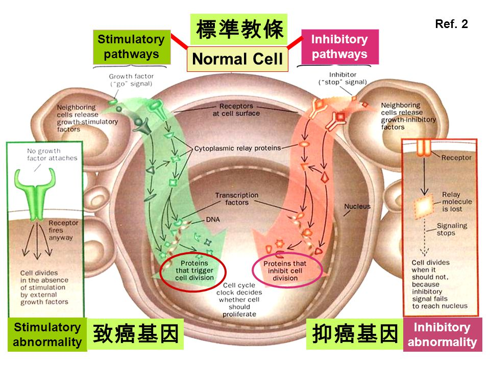 Inhibitory pathways Normal Cell Inhibitory abnormality Stimulatory abnormality Stimulatory pathways 標準教條 致癌基因抑癌基因 Ref.