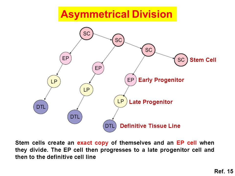 Stem cells create an exact copy of themselves and an EP cell when they divide. The EP cell then progresses to a late progenitor cell and then to the d