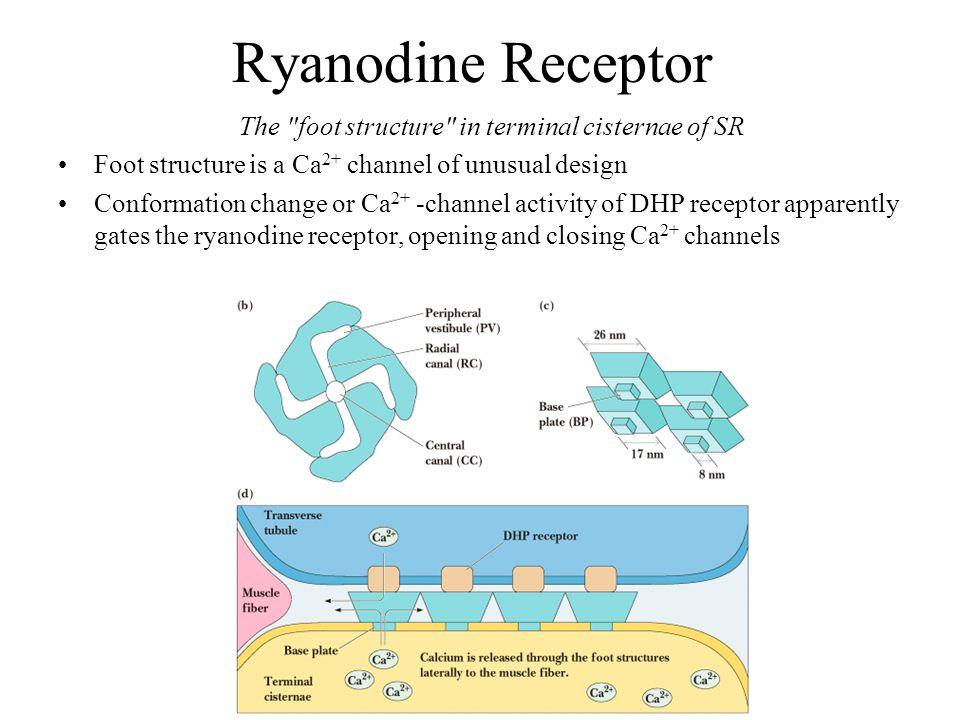 Ryanodine Receptor The