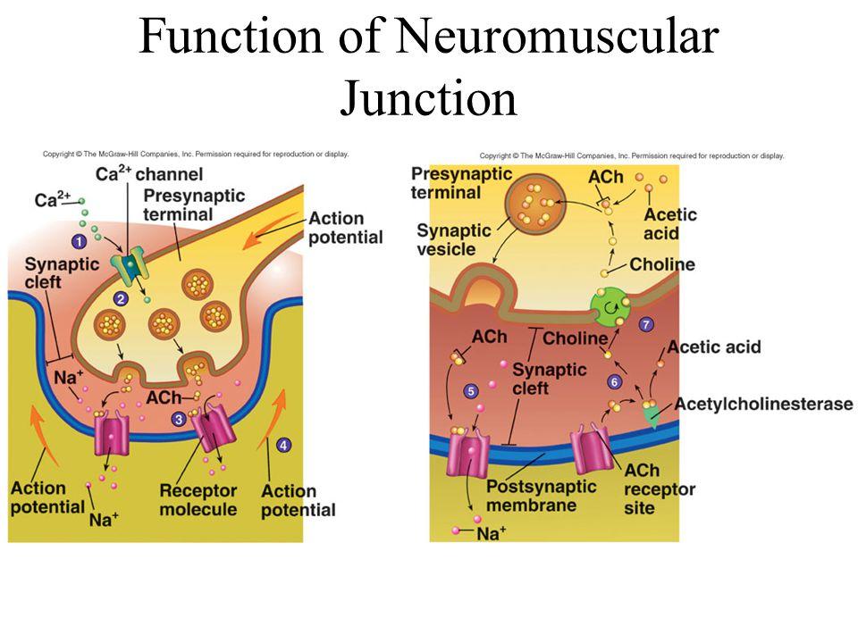 Function of Neuromuscular Junction