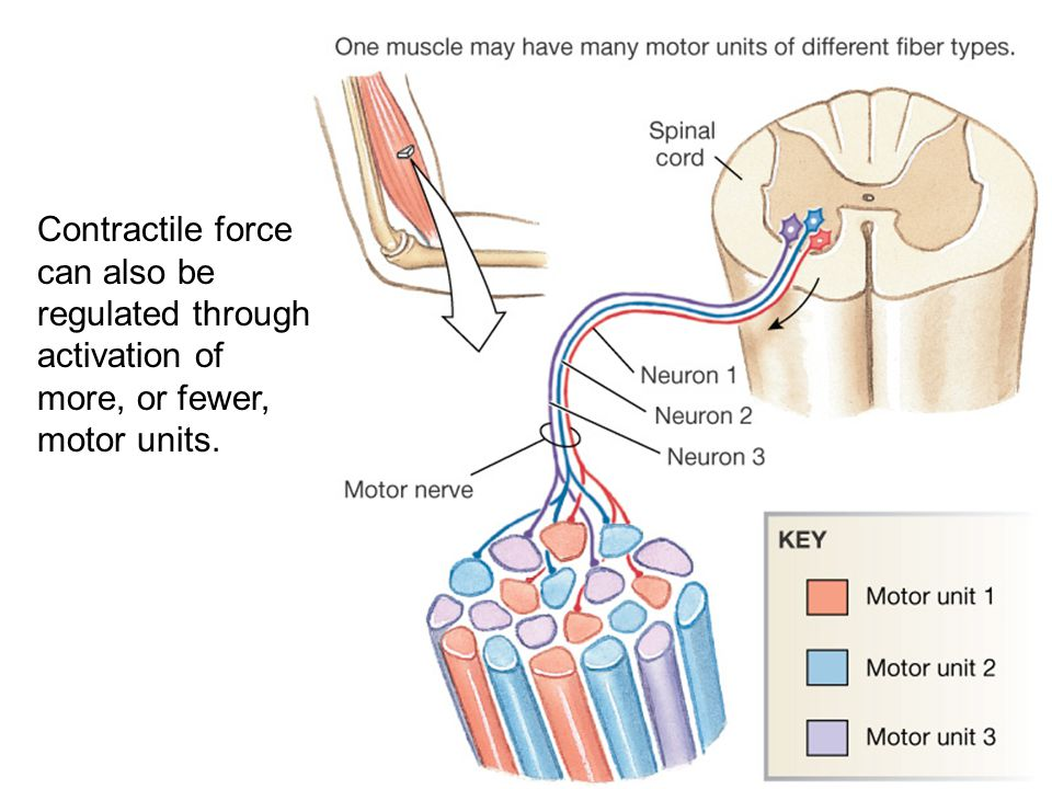 Contractile force can also be regulated through activation of more, or fewer, motor units.