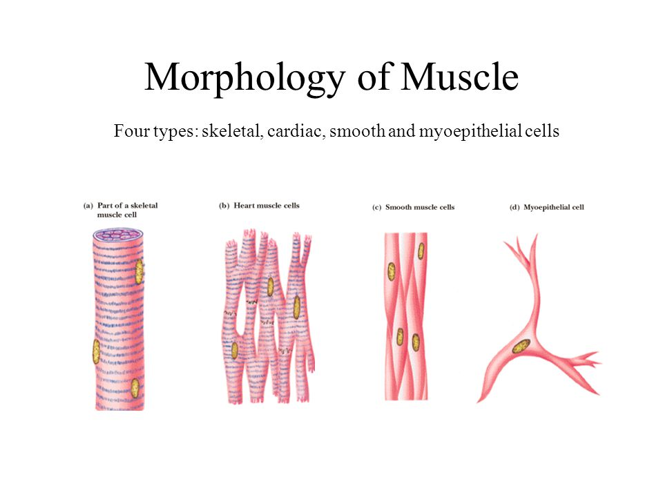 Function of Neuromuscular Junction
