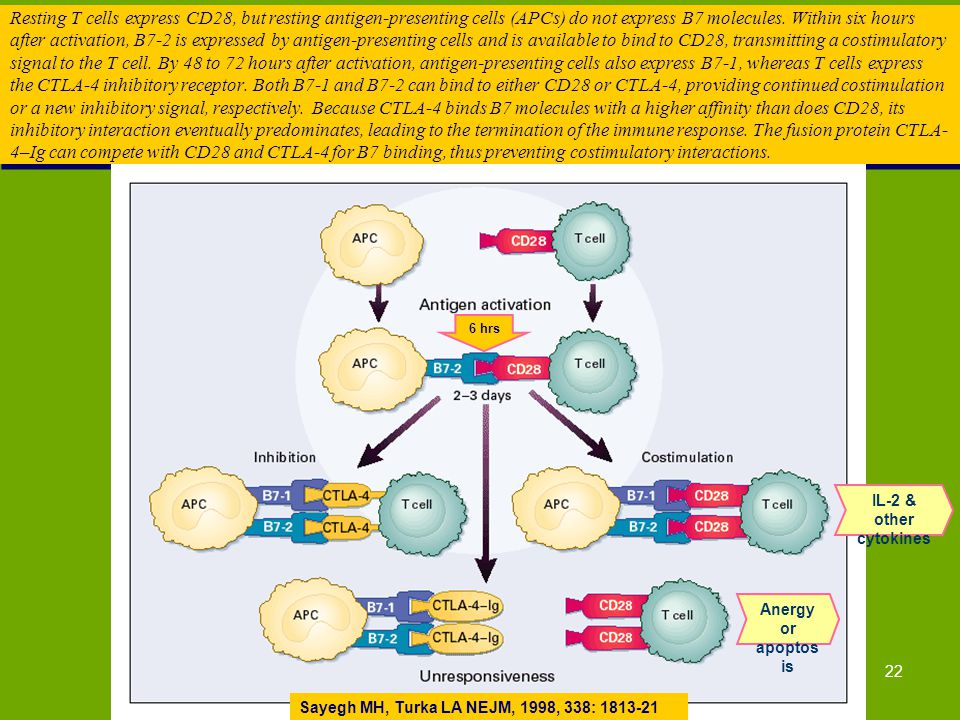22 Resting T cells express CD28, but resting antigen-presenting cells (APCs) do not express B7 molecules. Within six hours after activation, B7-2 is e