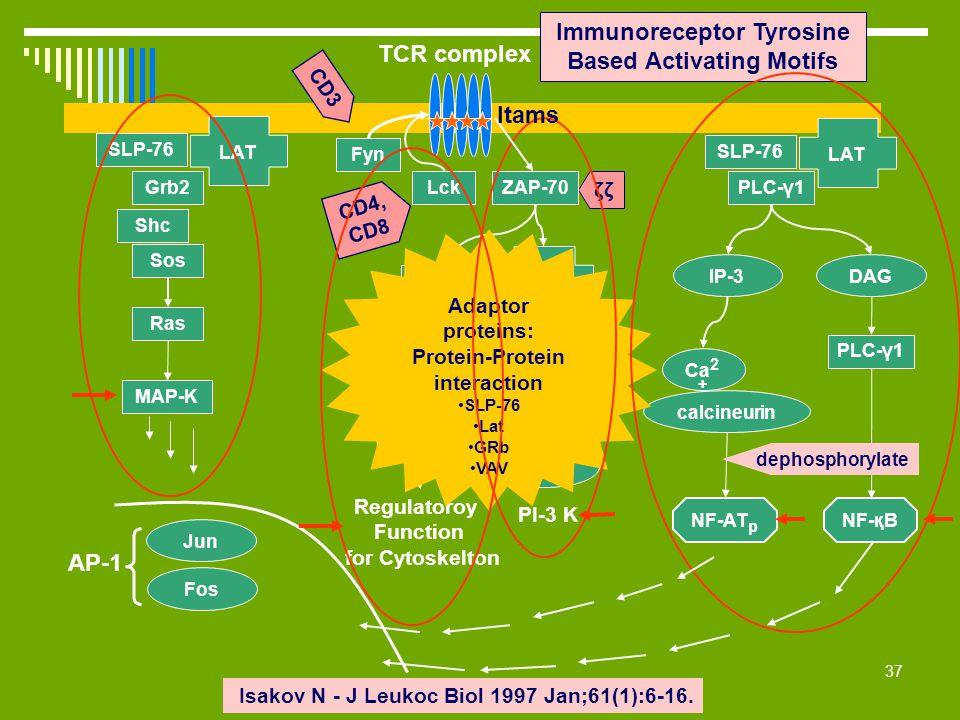 37 Immunoreceptor Tyrosine Based Activating Motifs ζζ Isakov N - J Leukoc Biol 1997 Jan;61(1):6-16. CD4, CD8 NF-қB Lck Fyn ZAP-70 CD3 LAT SLP-76 Grb2