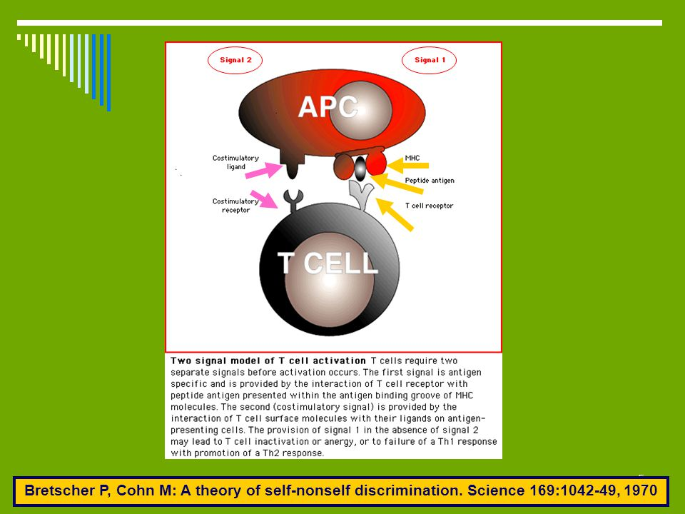 26 Accessory molecules of T cells CD 28- B7: Production of IL-2 and other cytokines CTLA4- B7: Inhibition of T cell stimulation [Abatacept (CTLA4-Ig)] CTLA4- B7: Inhibition of T cell stimulation [Abatacept (CTLA4-Ig)] LFA-1- ICAM-1 (2, 3): Adhesion of T cells to APCs, endothelial cells and extracellular matrix proteins and adhesion-dependent lymphocyte functions L-Selectin-CH ligands on HEV: Regulate migration of leukocytes to various tissues CD44-matrix proteins: Retention of T cells to endothelium at sites of inflammation CD40L- CD40: important signals for Ab production Activation of macrophages to destroy phagocytosed microbes B7 expression on all APCs (role in co-stimulation) Production of adhesion molecules & inflammatory cytokines by APCs → T- cell activation Fas ligand(D95)- Fas: T cell apoptosis and elimination