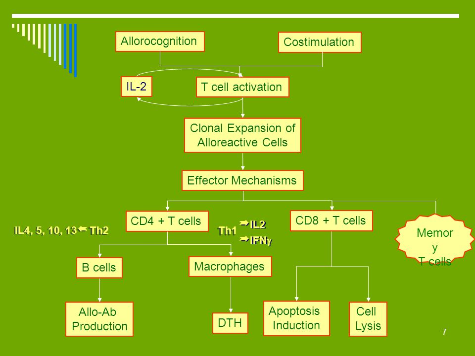 7 Costimulation Allorocognition T cell activation Clonal Expansion of Alloreactive Cells Effector Mechanisms CD8 + T cells CD4 + T cells Apoptosis Ind