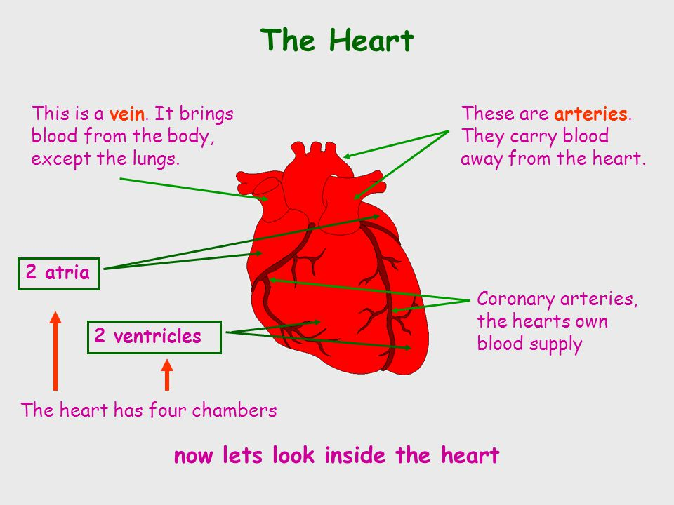 The Heart These are arteries. They carry blood away from the heart. This is a vein. It brings blood from the body, except the lungs. Coronary arteries