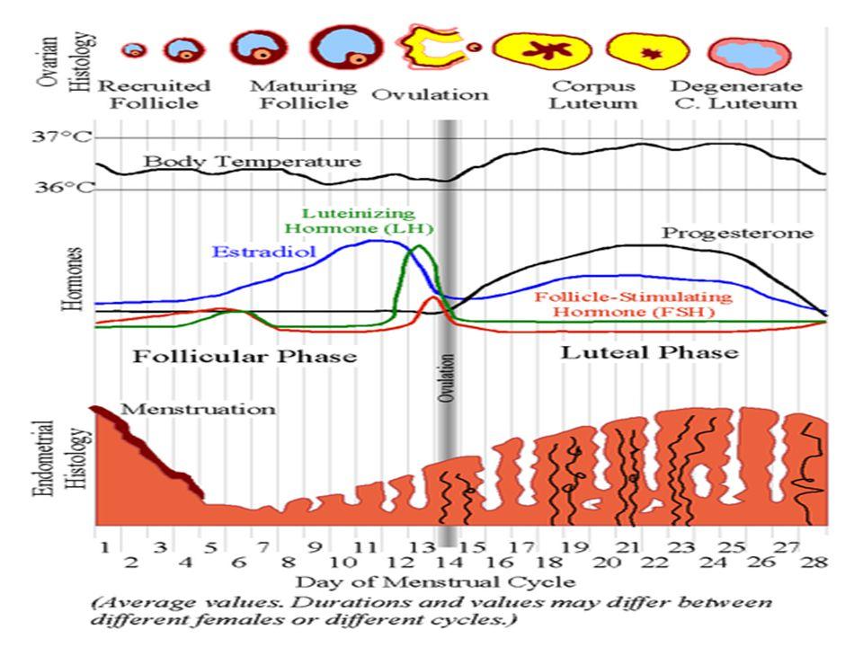 Reproductive Organs Fallopian tube, ovary, clitoris, ovum, uterus, endometrium, cervix, vagina, urethra labia minora and majora