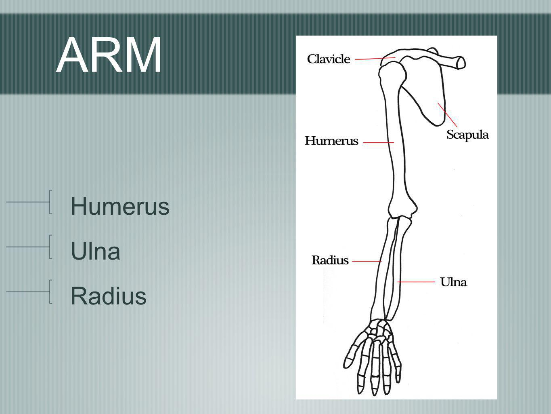 ARM Humerus Ulna Radius
