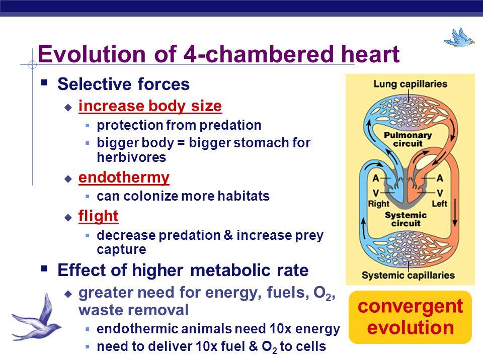 AP Biology Evolution of vertebrate circulatory system fishamphibianreptilesbirds & mammals AA V V VV V AAAA A V 2 chamber3 chamber 4 chamber