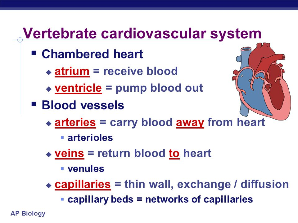 AP Biology Evolution of 4-chambered heart convergent evolution  Selective forces  increase body size  protection from predation  bigger body = big