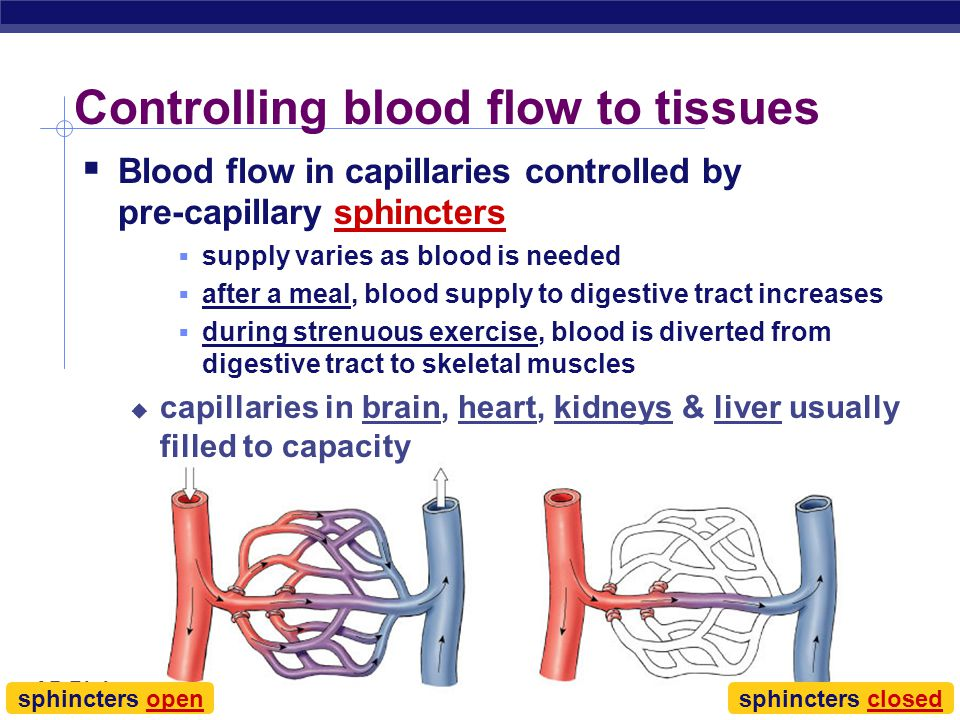 AP Biology Capillaries: Built for exchange  Capillaries  very thin walls  lack 2 outer wall layers  only endothelium  enhances exchange across ca