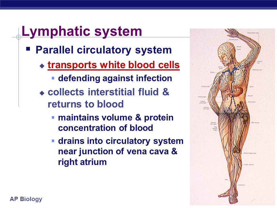 AP Biology Exchange across capillary walls Arteriole Blood flow Venule Lymphatic capillary Interstitial fluid Fluid & solutes flows out of capillaries