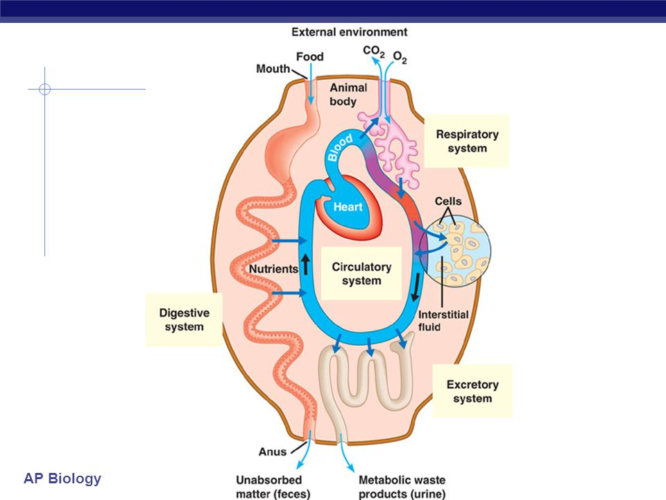 AP Biology 2008-2009 Circulatory Systems