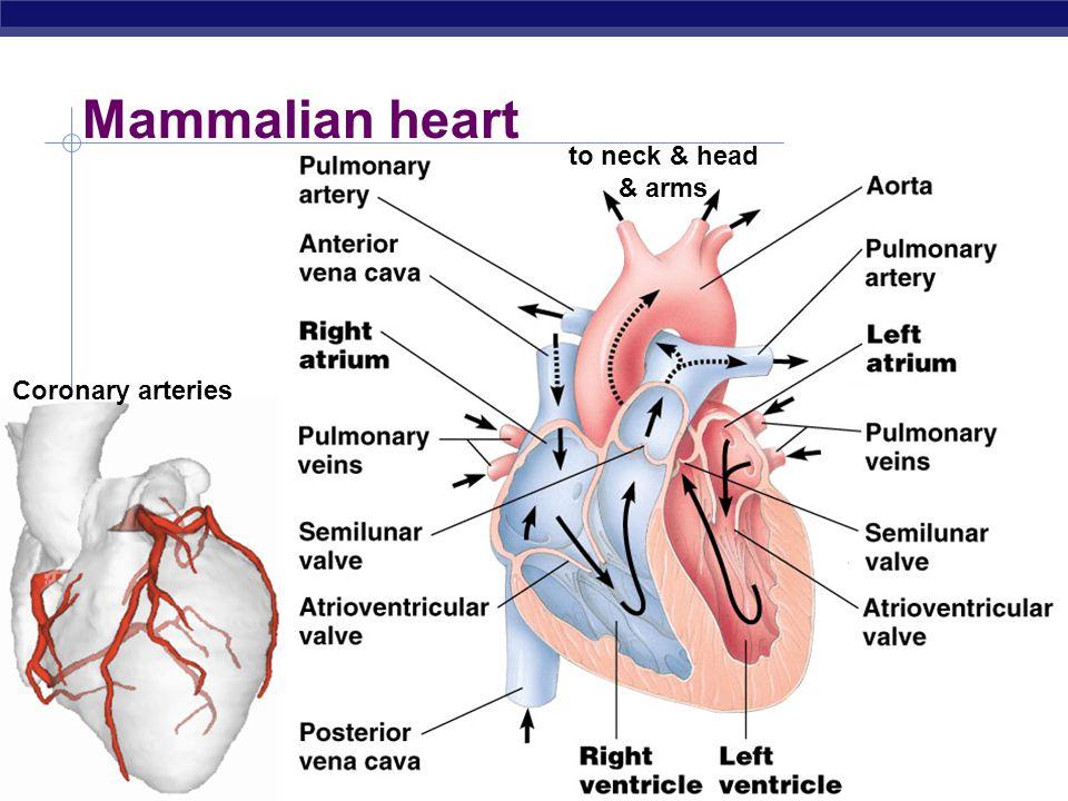 AP Biology Mammalian circulation What do blue vs. red areas represent? pulmonary systemic