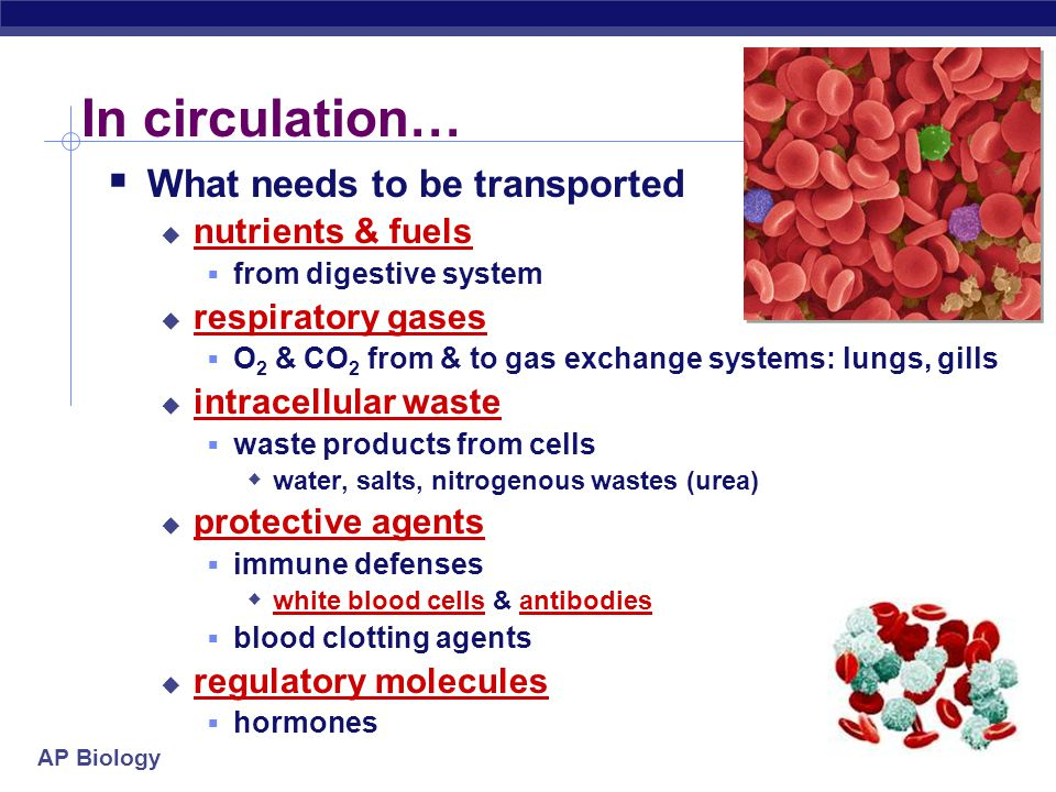 AP Biology In circulation…  What needs to be transported  nutrients & fuels  from digestive system  respiratory gases  O 2 & CO 2 from & to gas exchange systems: lungs, gills  intracellular waste  waste products from cells  water, salts, nitrogenous wastes (urea)  protective agents  immune defenses  white blood cells & antibodies  blood clotting agents  regulatory molecules  hormones