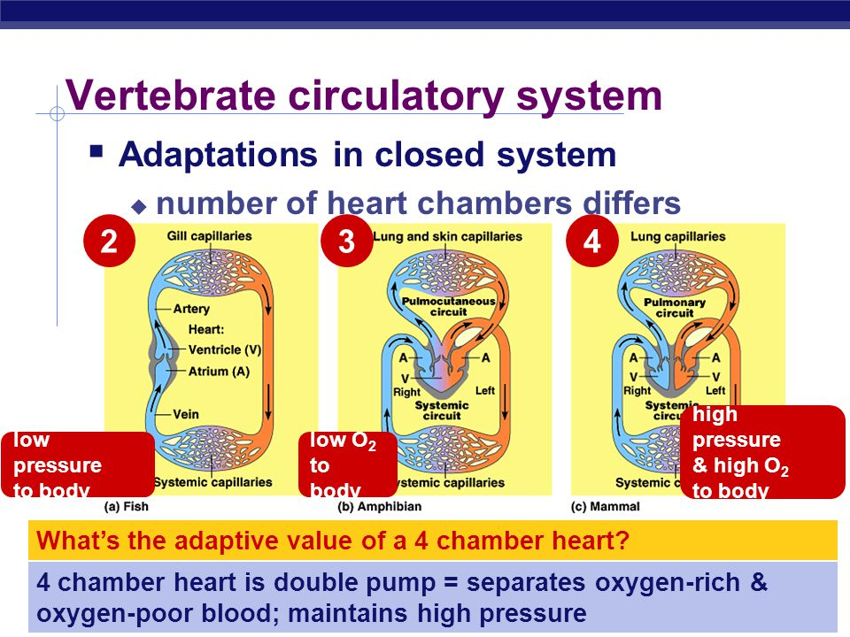 AP Biology Closed circulatory system  Taxonomy  invertebrates  earthworms, squid, octopuses  vertebrates  Structure  blood confined to vessels &