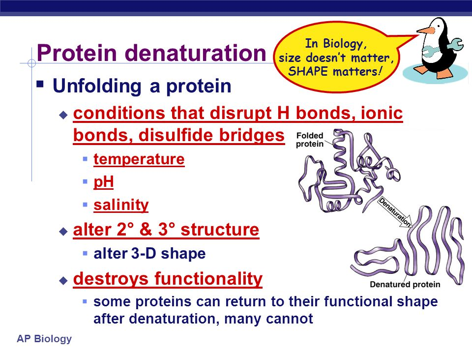 AP Biology Protein structure (review) amino acid sequence peptide bonds 1° determined by DNA R groups H bonds R groups hydrophobic interactions disulf