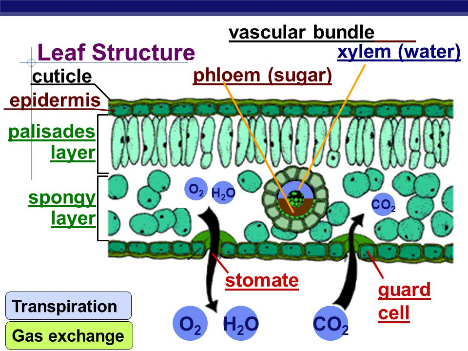 AP Biology Remember what plants need…  Photosynthesis  light reactions  light H2OH2O  Calvin cycle  CO 2 What structures have plants evolved to supply these needs.