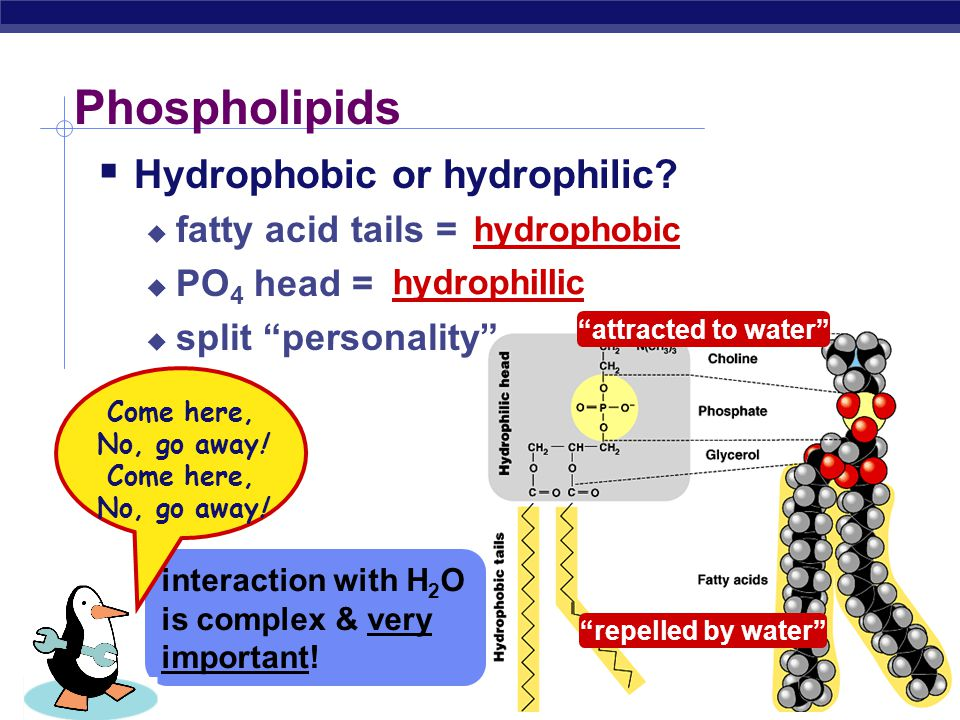 AP Biology Phospholipids  Structure:  glycerol + 2 fatty acids + PO 4  PO 4 = negatively charged It's just like a penguin… A head at one end & a ta