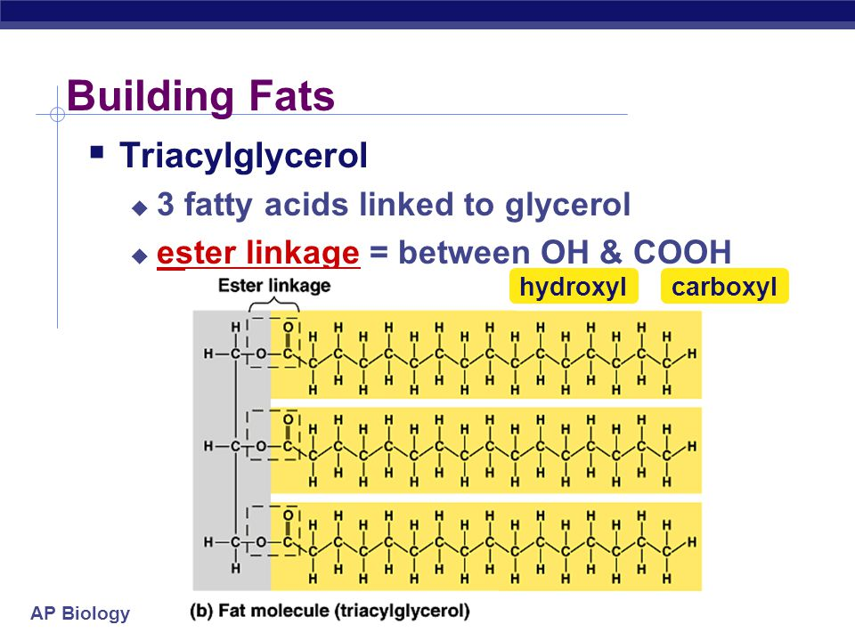 """AP Biology Fats  Structure:  glycerol (3C alcohol) + fatty acid  fatty acid = long HC """"tail"""" with carboxyl (COOH) group """"head"""" dehydration synthesi"""